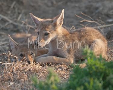 Coyote-10
