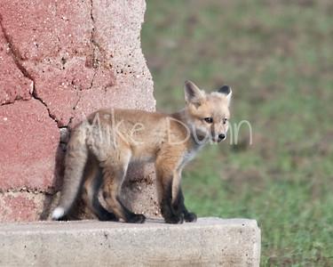 Red Fox-27