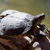 Turtle in pool at Bonnie Springs Ranch, near Las Vegas, Nevada, February 2016.