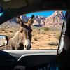 Wild donkey near Bonnie Springs, along Highway 159 (Red Rock Canyon Road), Nevada, February 2016.