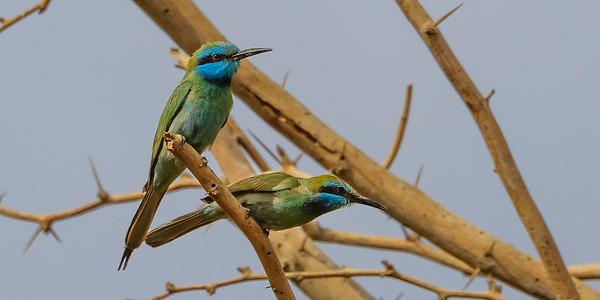 Red Sea, Bird migration, Eilat in March