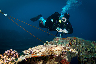 Diver with crocodile fish on the Thistlegorm Wreck