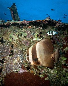 Batfish on the Thistlegorm Wreck