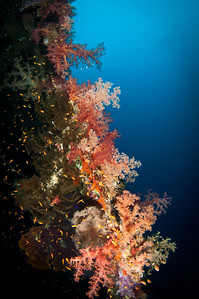 Soft coral on the Dunraven Wreck
