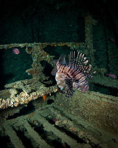 Lionfish inside a cargo hold of the Thistlegorm Wreck