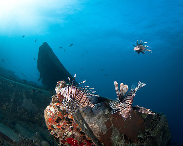 Lionfish hunting on the Thistlegorm Wreck