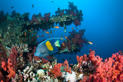 Angelfish on the Giannis D Wreck