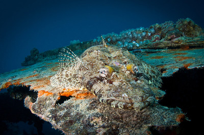 Crocodile fish on the Thistlegorm Wreck