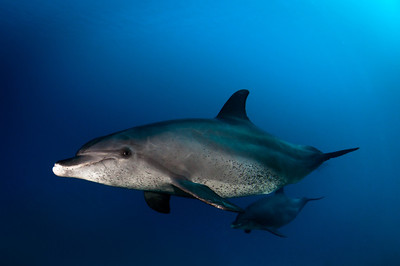 Spotted Dolphins at the Carnatic Wreck