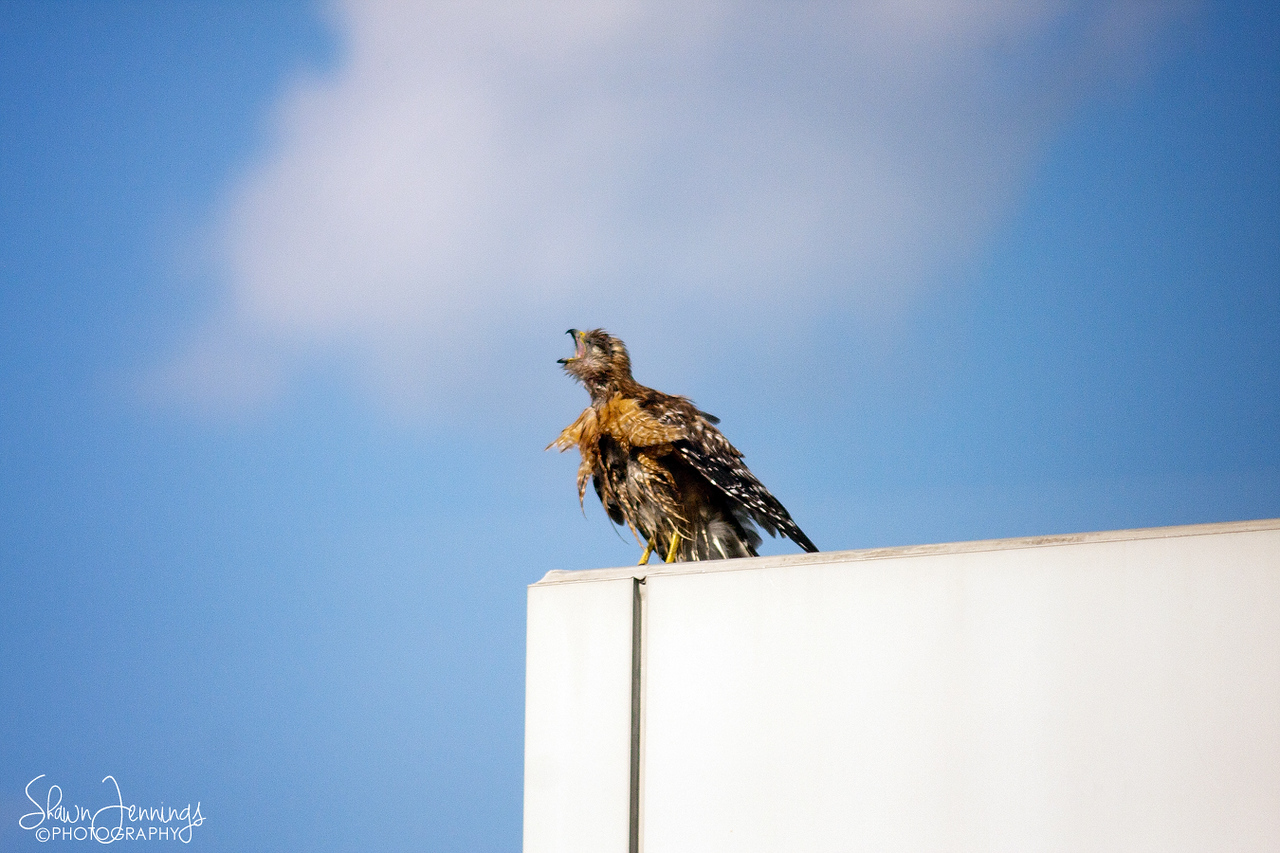A couple days ago Mama hawk looked a little rough. I don't know what happened to her, but she looked like she might have been beat up a little bit.