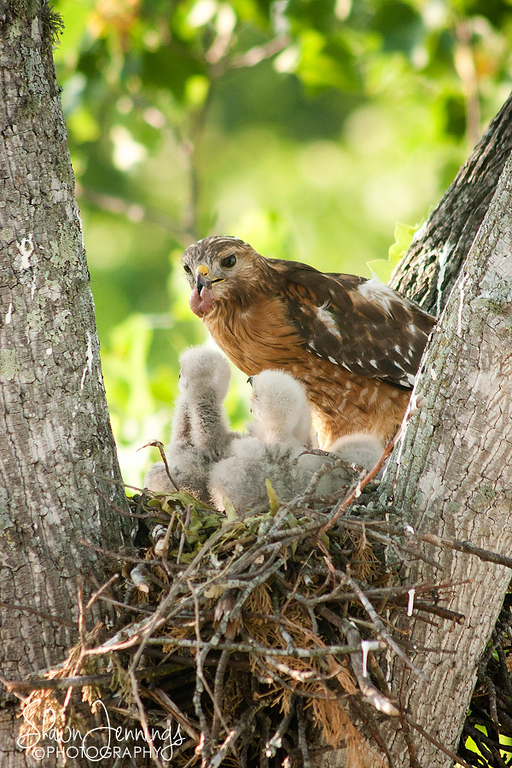 It's that time of year again and the fourth year the hawks have nested outside the window at work. I don't know if it's the same hawks that nest each year or possibly the young ones from a previous year. Either way, there are four baby hawks again this year.