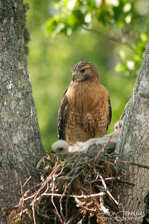 Mama hawk keeps a constant watch as the babies relax or sleep. They have no idea the dangers that await them without her watchful eye.