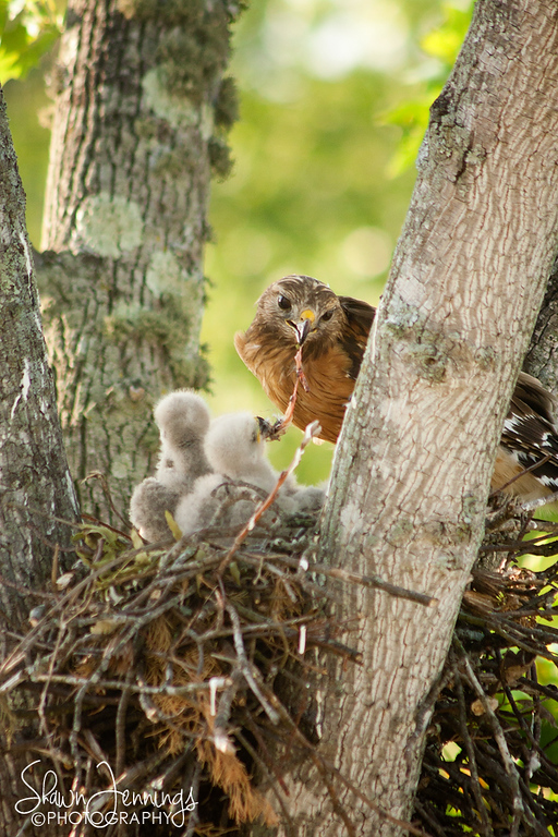 It's a bird eat bird world. Mama hawk is feeding the baby hawks another smaller bird for supper in this image.