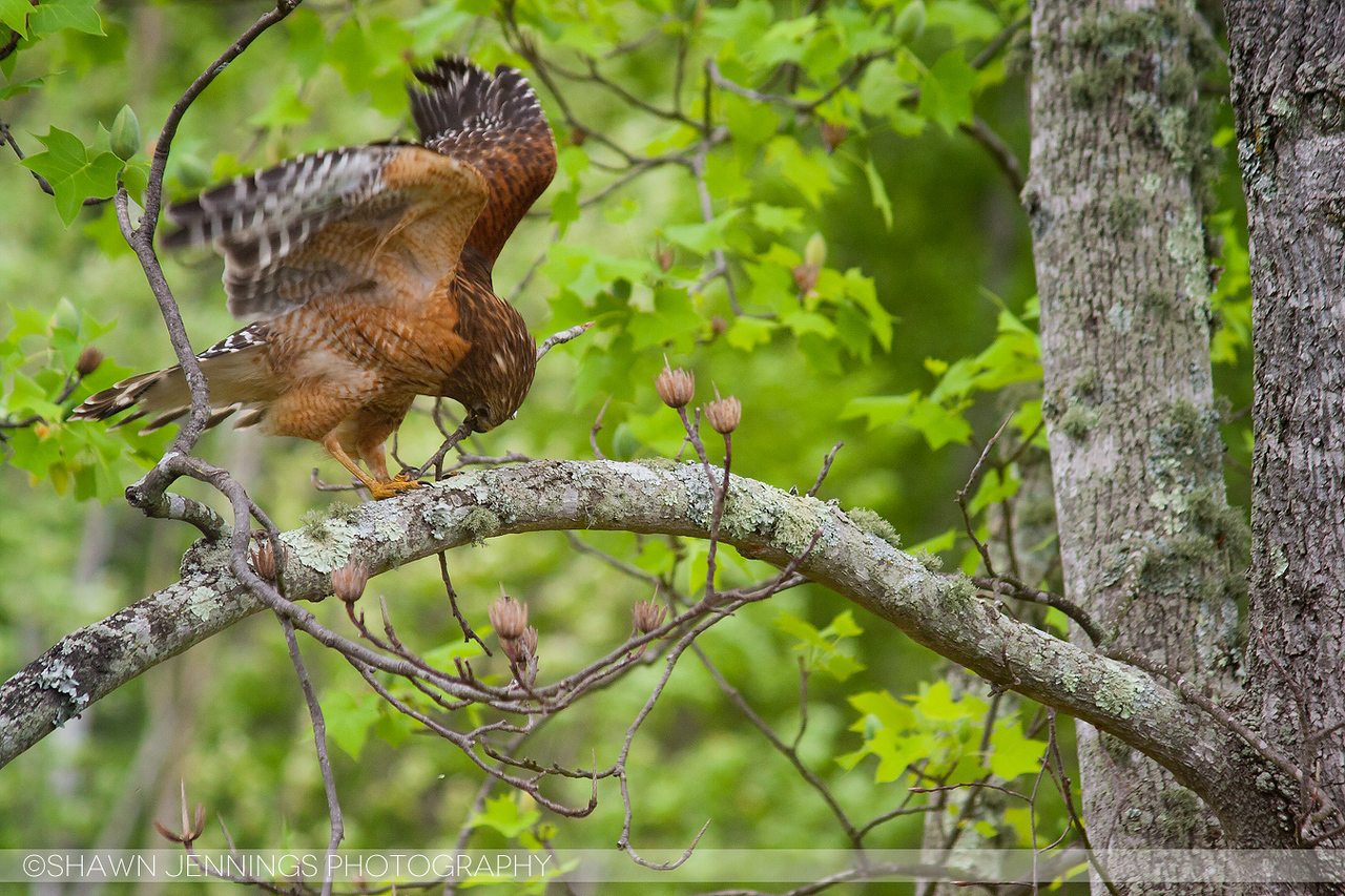 After moving into the new nest the hawks began remodeling by adding more twigs and leaves to it. Replenishing the nest is something they actually do the entire time they are using it.