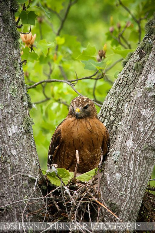 Mama hawk (I assume) keeps close guard of her babies.