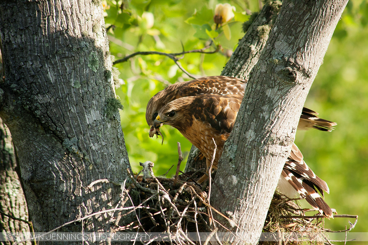 The babies hatched somewhere between the second and third week of incubation. Right away the parents began feeding them. In this image one hawk brought a small frog to the nest and handed it off to the other before flying away to hunt for more.