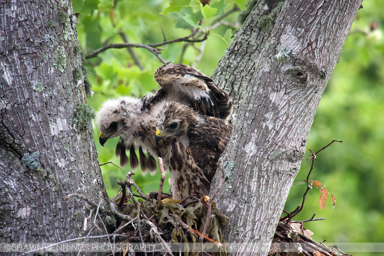 A lot of wing stretching took place this week. I think they're almost ready to leave the nest.