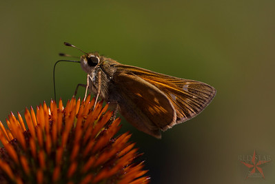Red Skipper Macro Side View