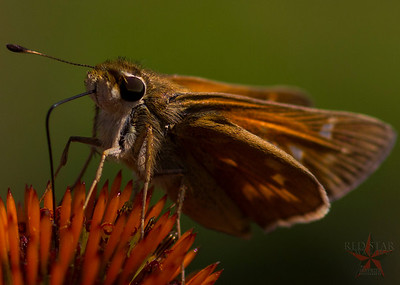 Red Skipper Macro