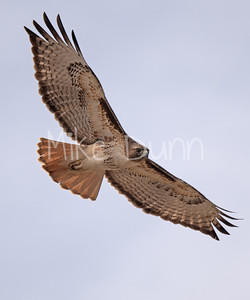 Red Tailed Hawk-42