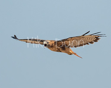 Red Tailed Hawk-118