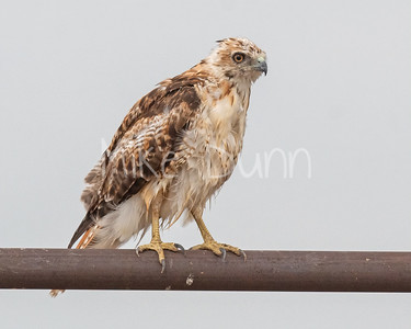 Red Tailed Hawk-148