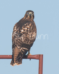 Red Tailed Hawk-90