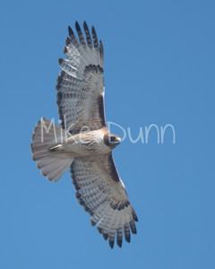 Red Tailed Hawk-78