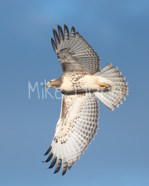Red Tailed Hawk-95