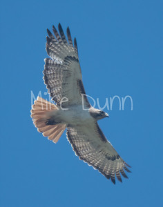 Red Tailed Hawk-85