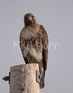 Red Tailed Hawk-54