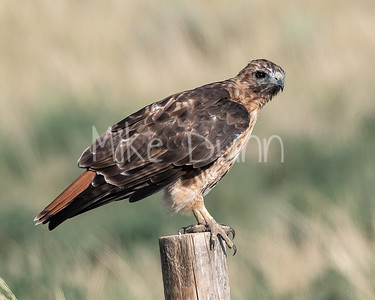 Red Tailed Hawk-151