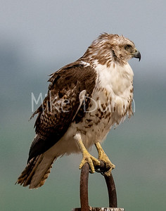Red Tailed Hawk-144
