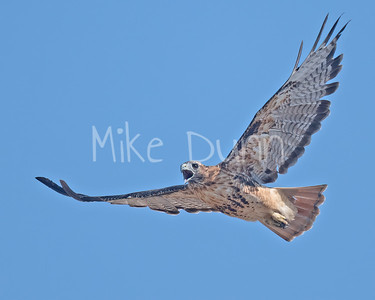 Red Tailed Hawk-119
