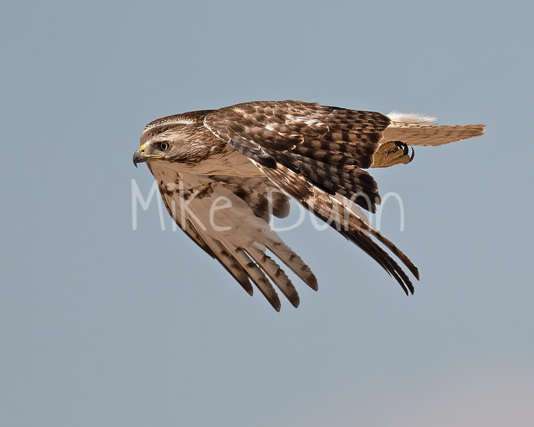 Red Tailed Hawk-114