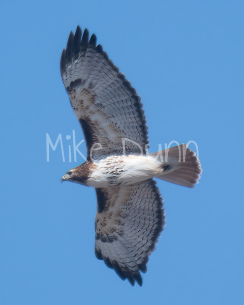 Red Tailed Hawk-46
