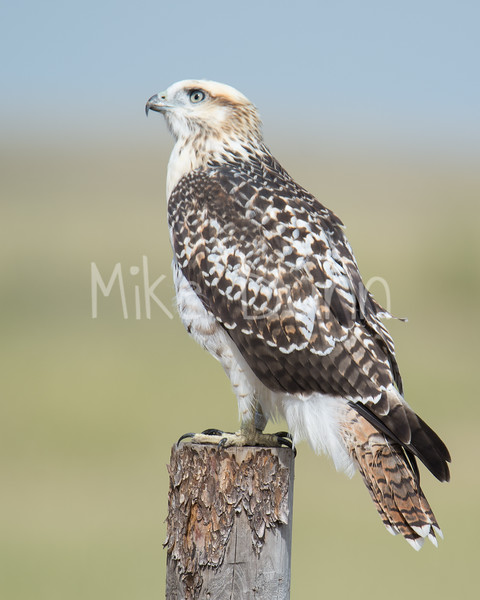 Red Tailed Hawk-28