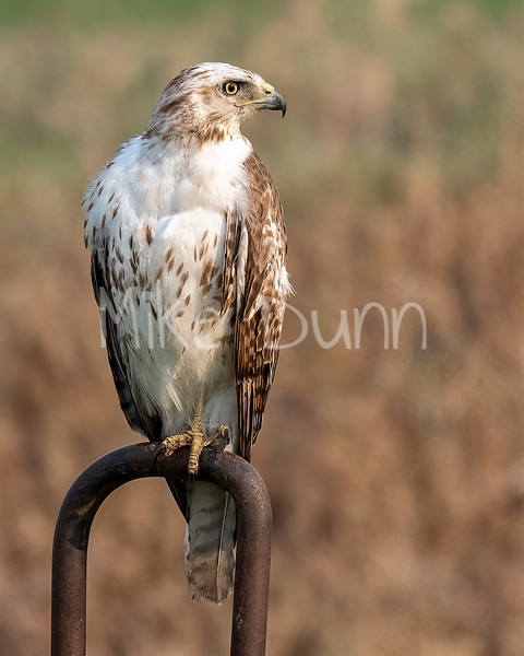 Red Tailed Hawk-147