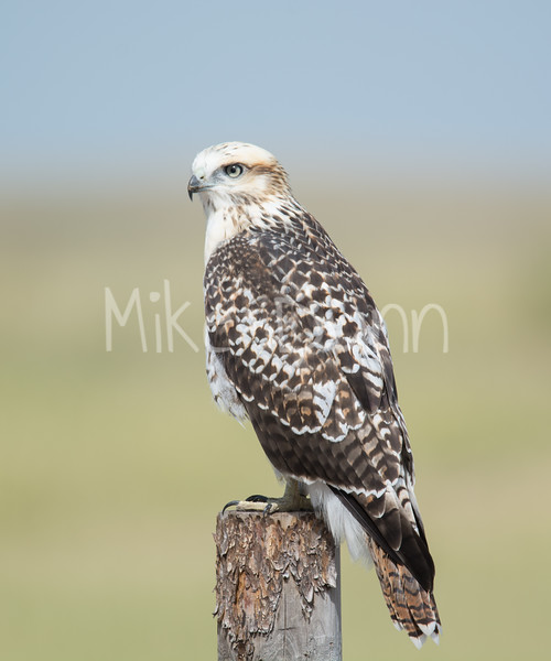Red Tailed Hawk-29