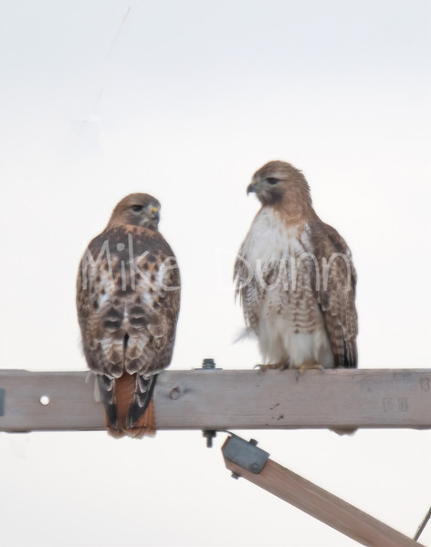 Red Tailed Hawk-43