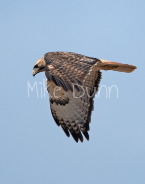Red Tailed Hawk-37