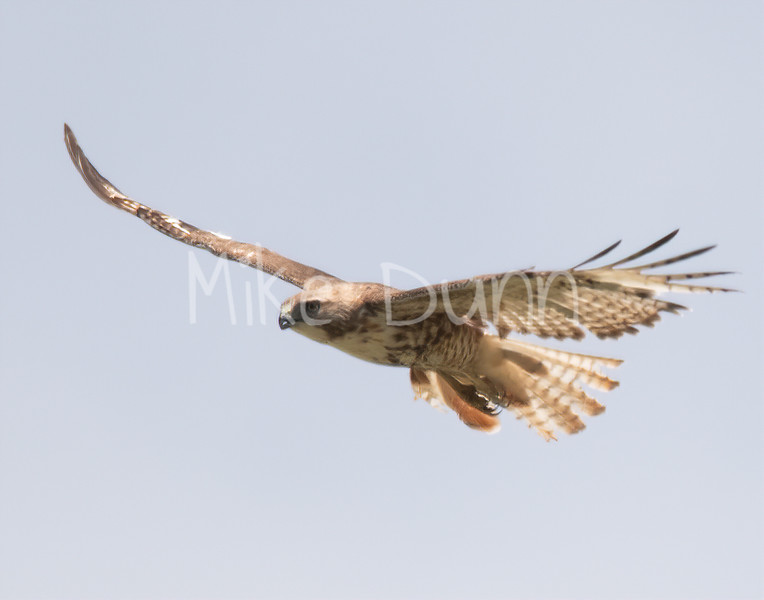 Red Tailed Hawk-83