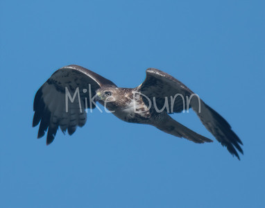 Red Tailed Hawk-81