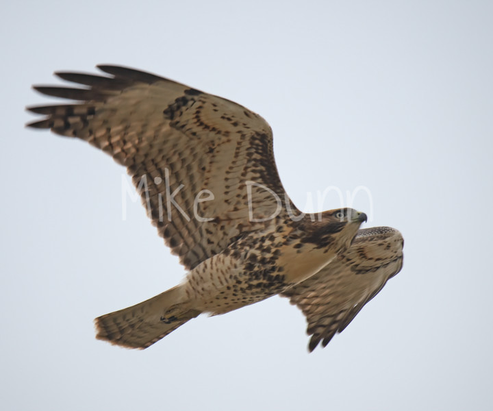 Red Tailed Hawk-100