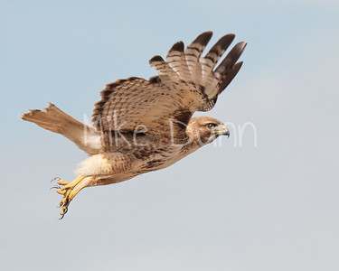 Red Tailed Hawk-107
