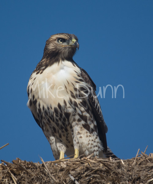 Red Tailed Hawk-16
