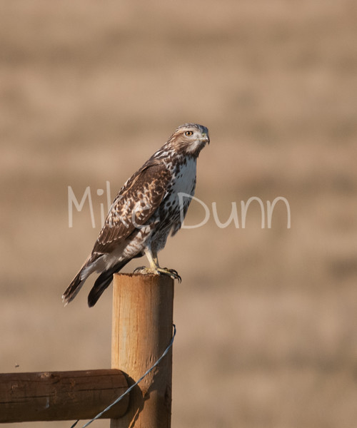 Red Tailed Hawk-10