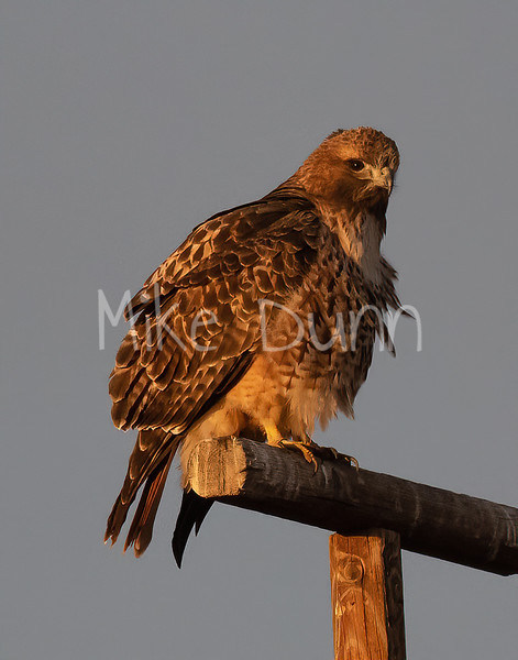 Red Tailed Hawk-129