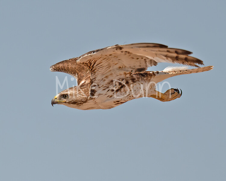 Red Tailed Hawk-113