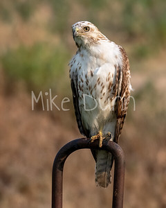 Red Tailed Hawk-146